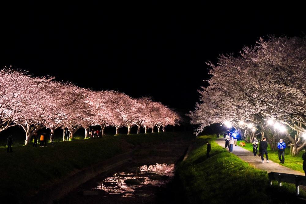 朝倉 桜並木写真
