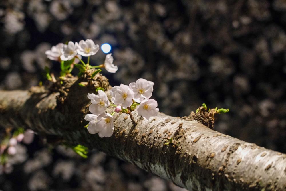 桜 写真 朝倉